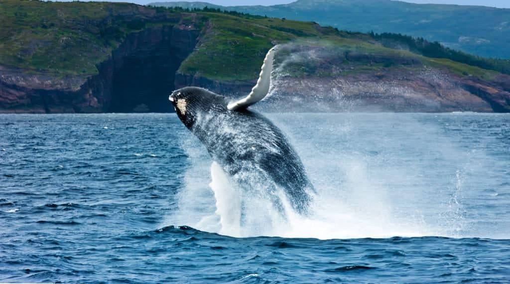 Breaching Humpback Whale , Witless Bay Ecological Reserve, Newfoundland and Labrador, NL, Canada Megaptera novaeangliae, Cetacea, Balaenopteridae, Mammal, Ocean, Breaching-Whale-©-Copyright-Barrett-MacKay-Photo-Image-courtesy-of-Newfoundland-Labrador-Tourism