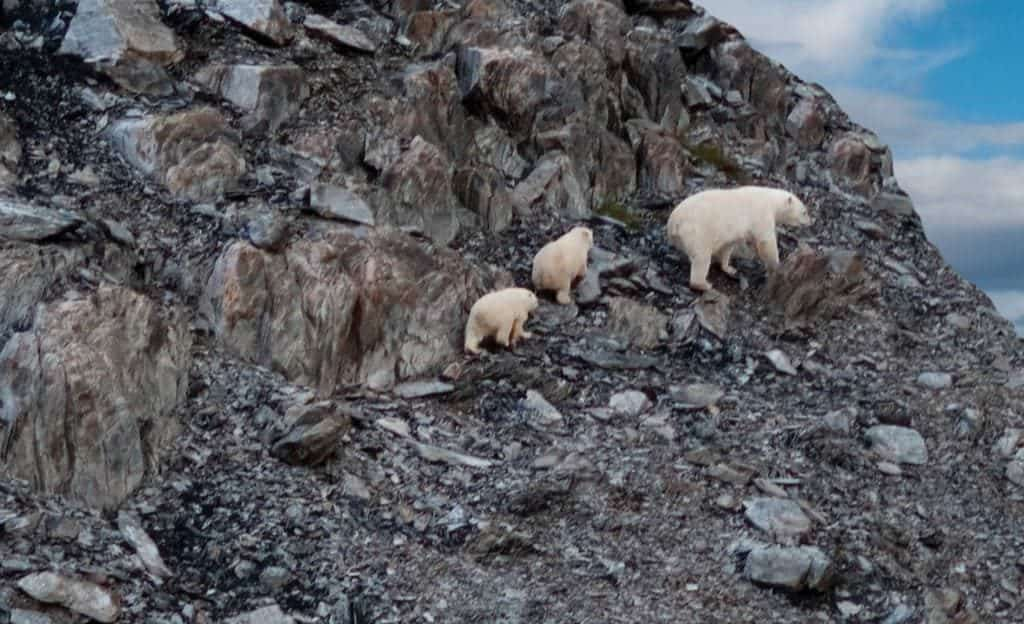 Labrador-Torngats-Mountains-3-Polar-Bears-Closeup©-Barrett-MacKay-Photo-Image-courtesy-of-Newfoundland-Labrador-Tourism.