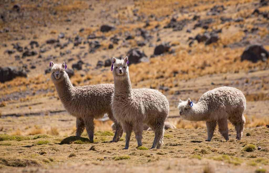 Alpacas in the Peruvian Andes