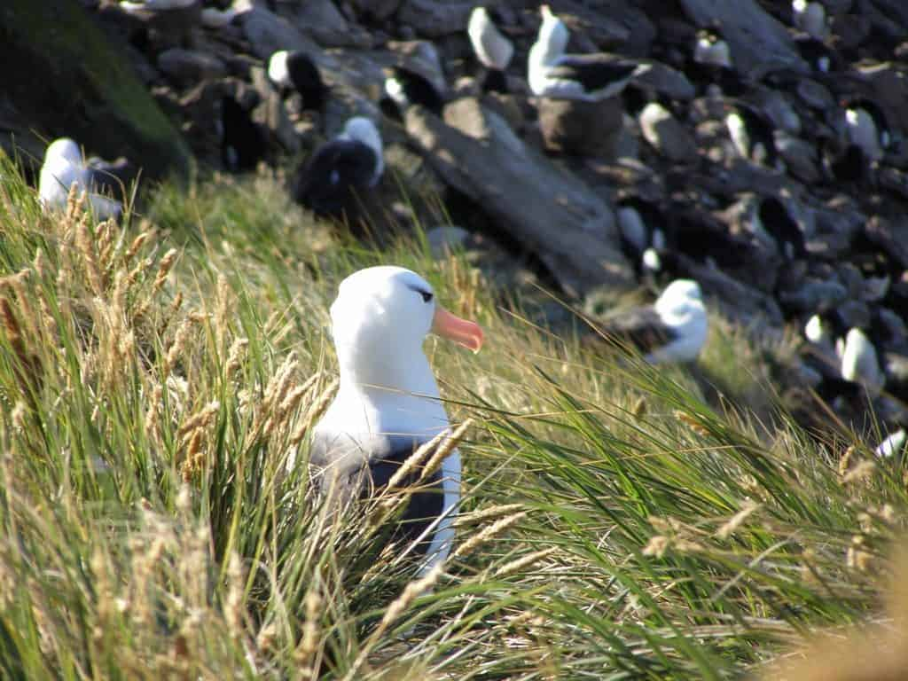 Black-browed Albatross Colony, Falklands