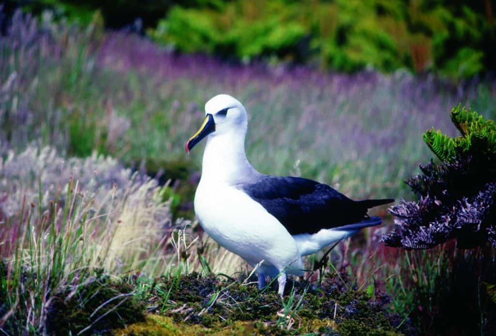 Yellownosed Albatross