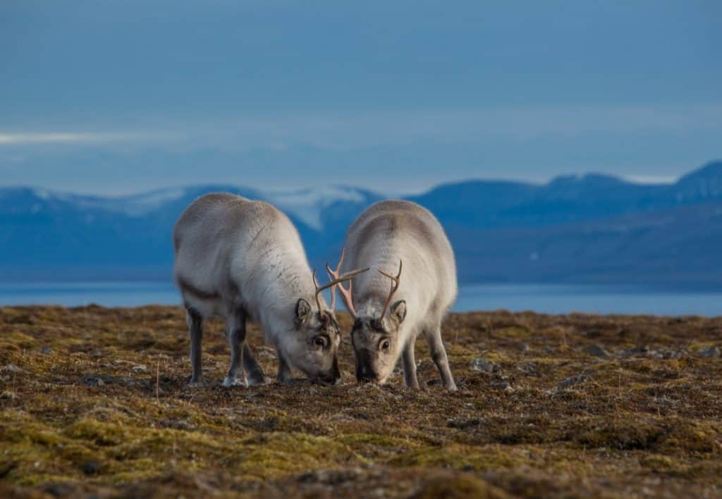 Tommy-Simonsen - fat svalbard reindeer_scaled